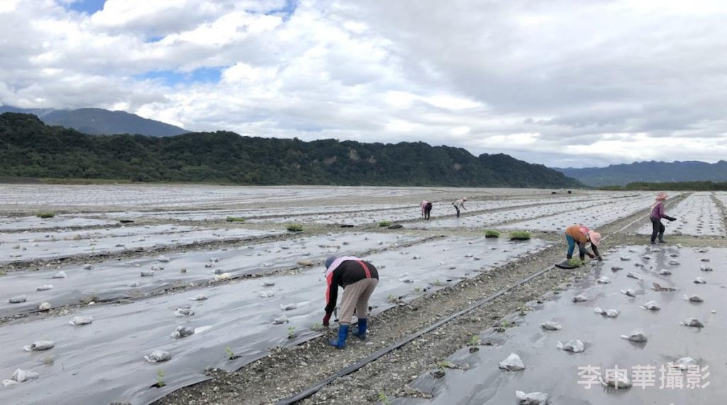 工人們又開始栽西瓜苗了